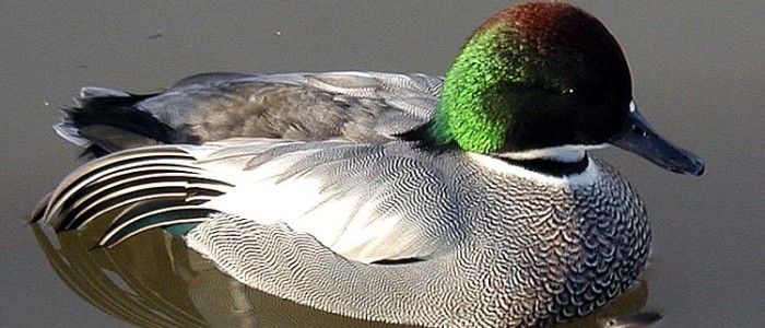 Falcated duck at Slimbridge Wildfowl and Wetlands Centre in Gloucestershire England
